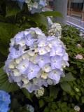 hydrangea2